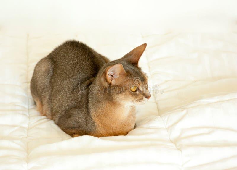 Abyssinian katt Nära övre stående av den blåa abyssinian kvinnliga katten som sitter på den vita filten N?tt katt p? vit bakgrund royaltyfri bild