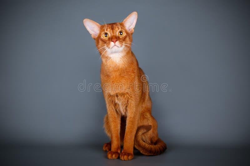 Abyssinian katt på kulöra bakgrunder arkivbild