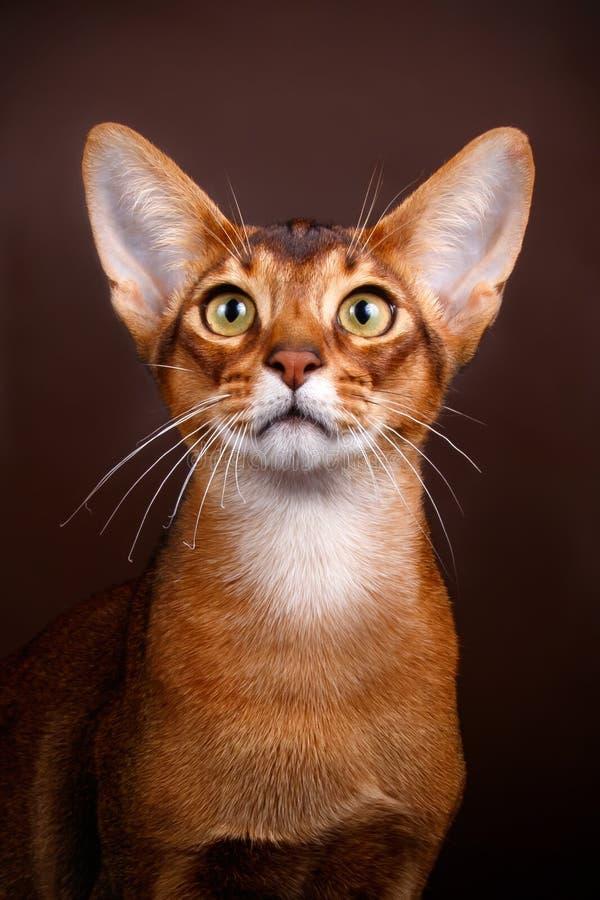 Abyssinian katt på kulöra bakgrunder royaltyfri fotografi