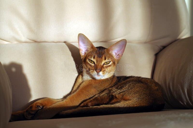 Abyssinian katt som ligger på soffan royaltyfri foto