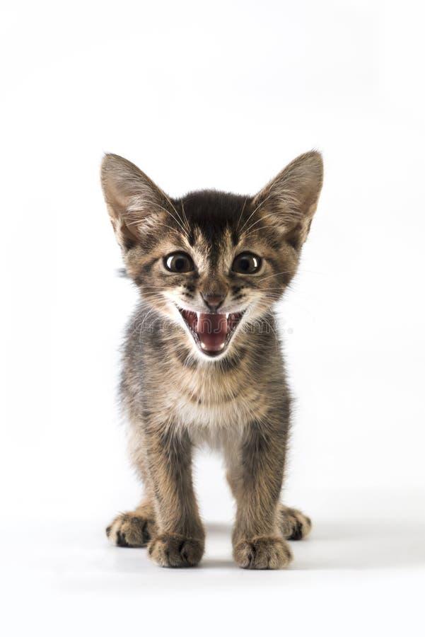 Abyssinian kattunge som ler, isolerat på vit royaltyfria foton