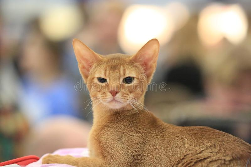 Abyssinian kitten lies and looks at half a turn on a blurred background stock photography