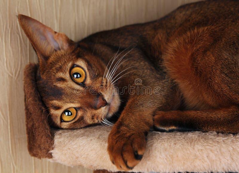 Abyssiniankat die in kattenhuis liggen stock foto