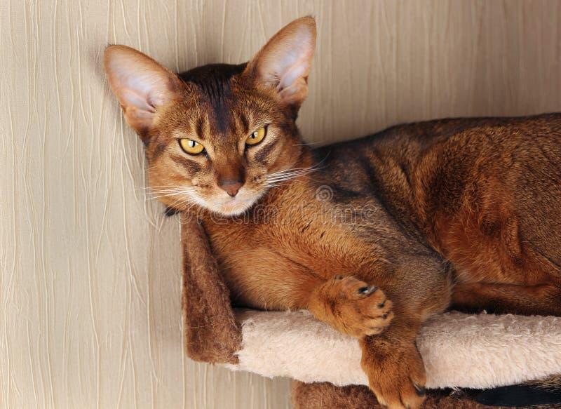 Abyssiniankat die in kattenhuis liggen royalty-vrije stock afbeelding