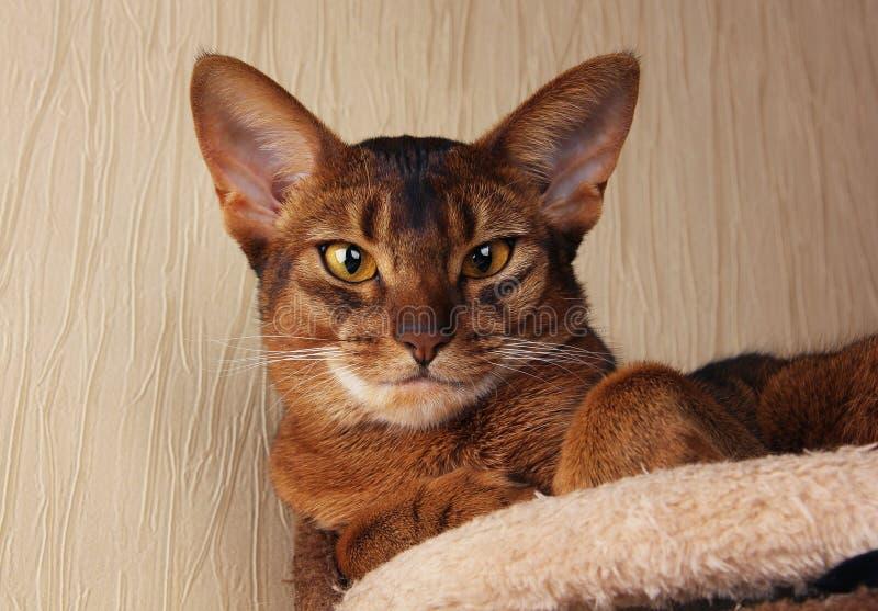 Abyssiniankat die in kattenhuis liggen royalty-vrije stock afbeeldingen