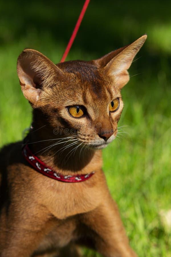 Abyssiniankat die in rode kraag lopen stock afbeeldingen