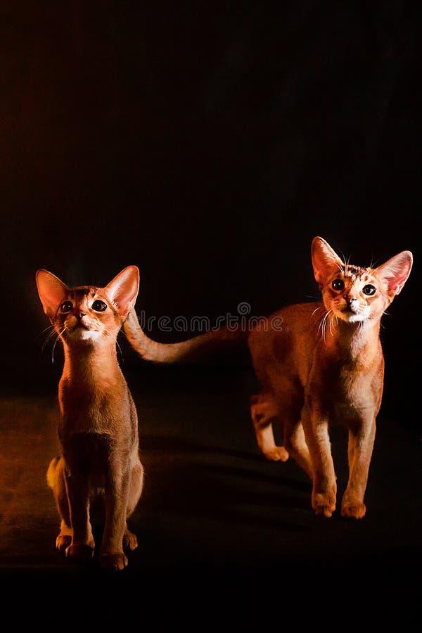 Abyssinische Kätzchen auf einem schwarzen Hintergrund, im vollen Wachstum stockfotos