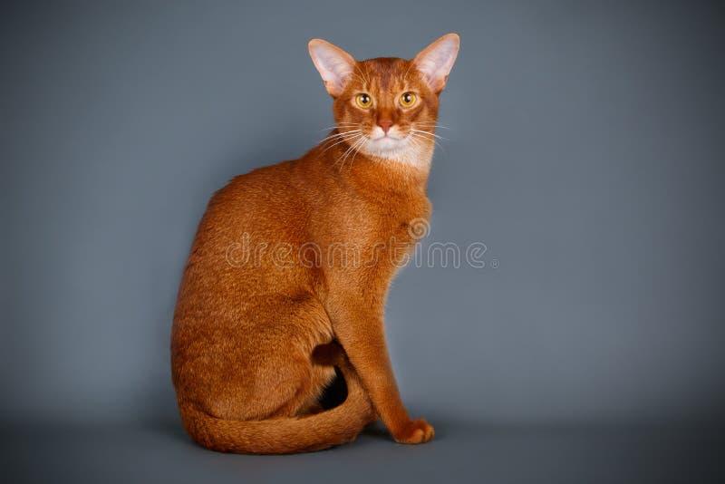Abyssinische Katze auf farbigen Hintergründen stockfotografie