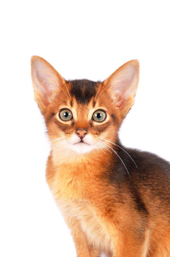Abyssinisches Kätzchenporträt lizenzfreies stockbild