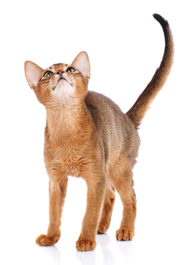 Abysyn thoroughbred kot na białym tle Purebred kot Przygotowywająca figlarka Zwierzęcia domowego, wygody i spokoju pojęcie, obrazy royalty free