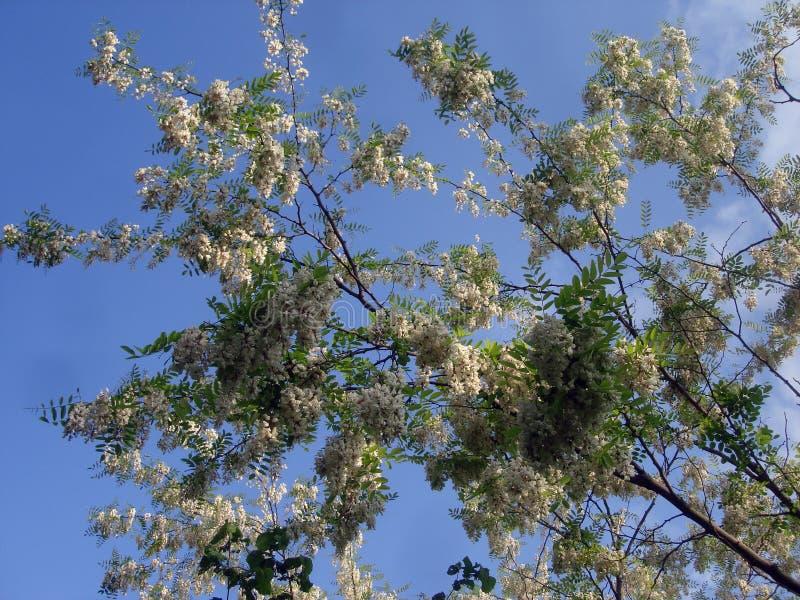 A acácia branca floresce em um céu azul do fundo fotografia de stock