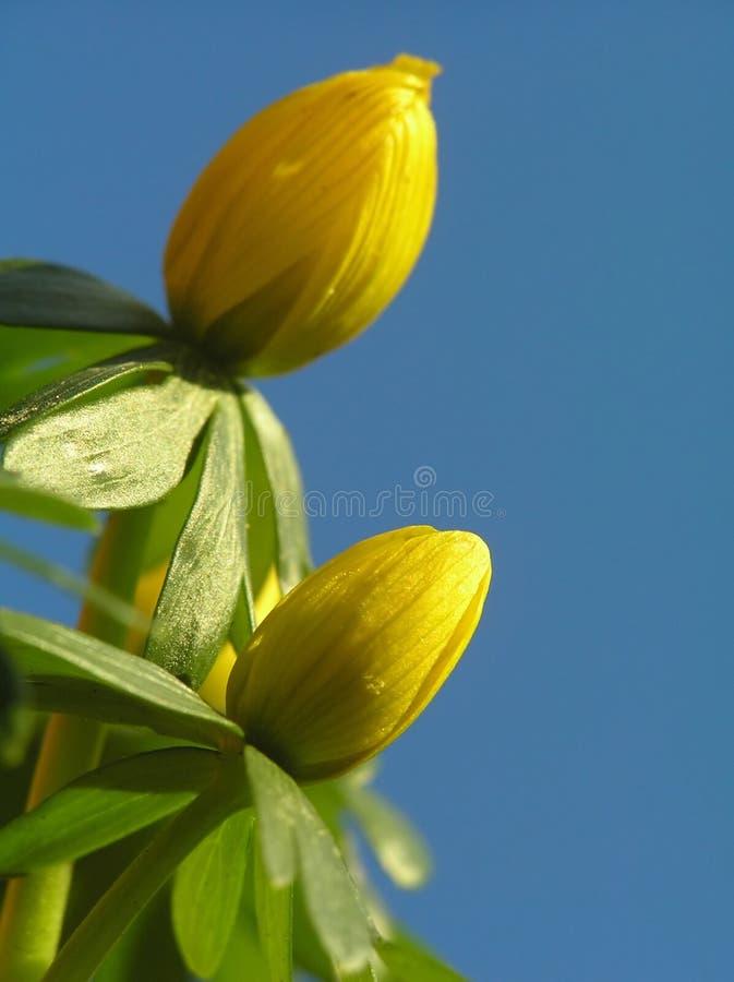 Acónito de inverno amarelo imagem de stock