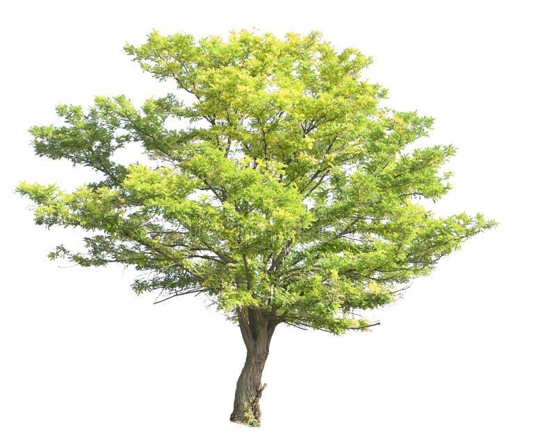 Acacia images libres de droits