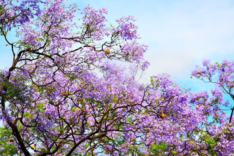 Acacia. The spring bloom of acacia stock photos