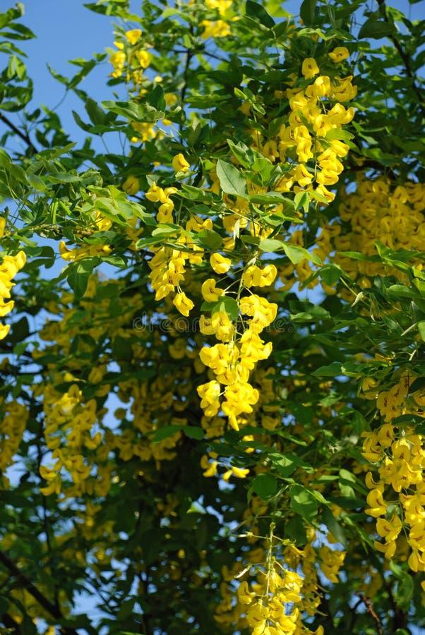 Acacia amarillo fotografía de archivo