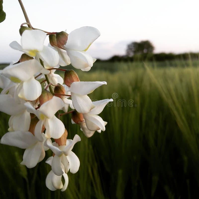 Acacia au printemps image libre de droits