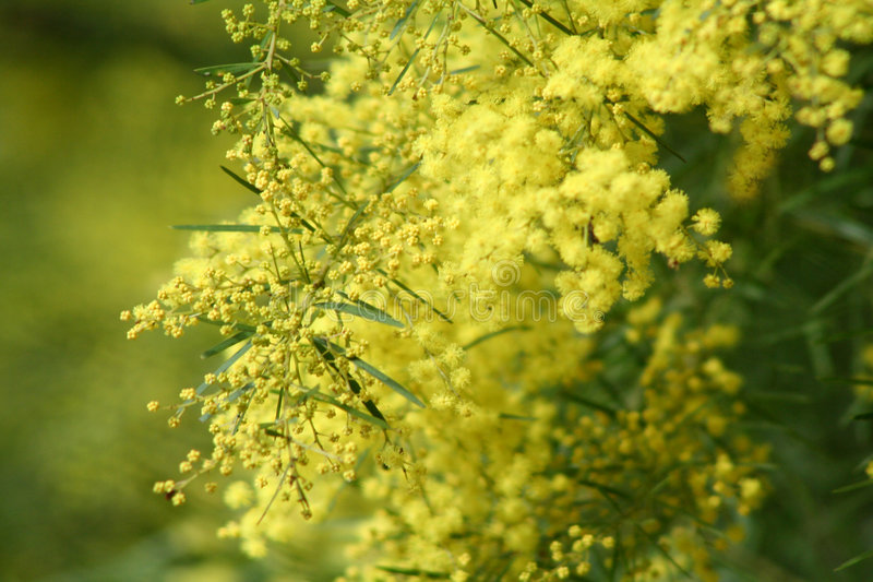 Acacia australiana immagine stock libera da diritti
