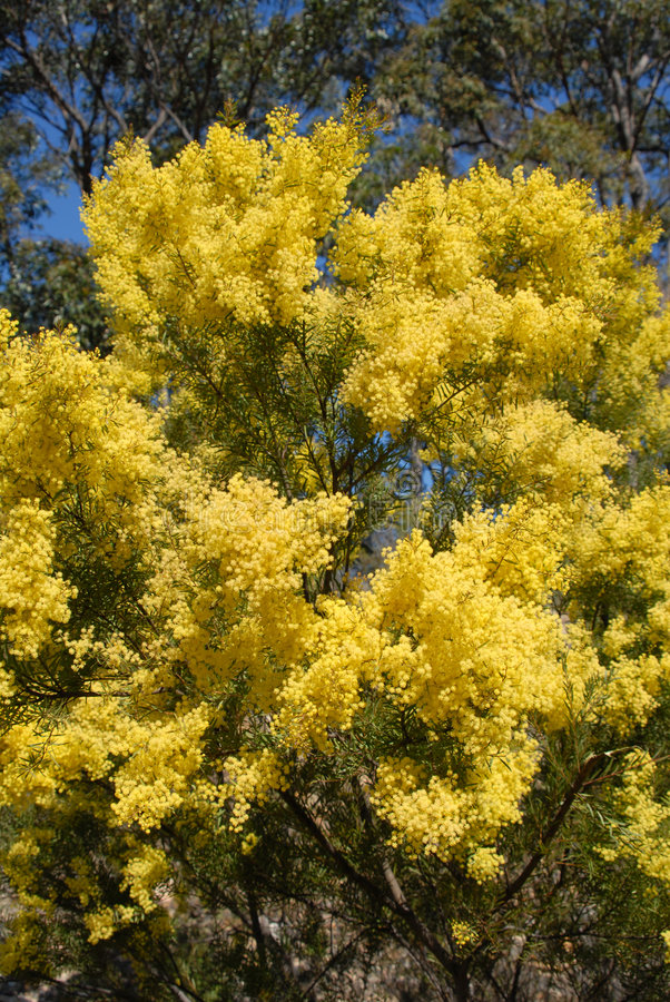 Acacia australiana in primavera con fioritura di fioritura gialla fotografia stock