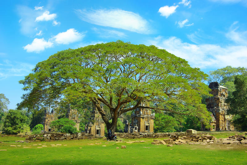 Acacia on the background of the ruins. royalty free stock images