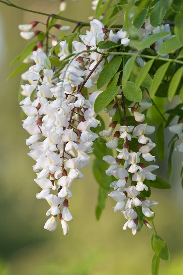 Acacia blanco imagenes de archivo
