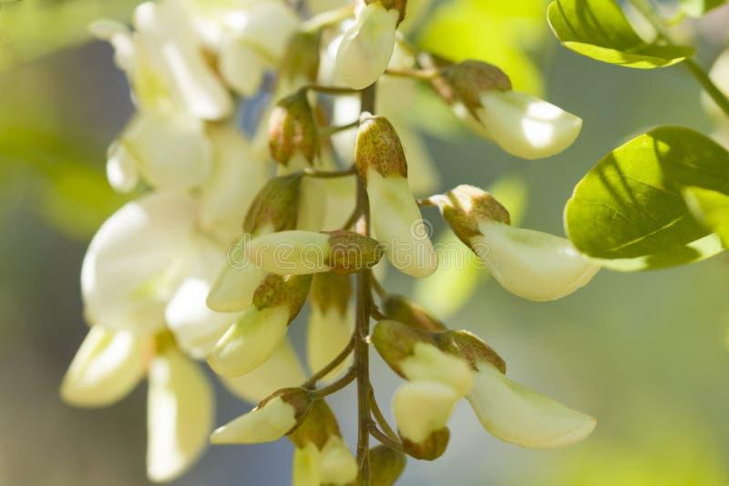Acacia Blossom. White acacia blossom and leaves stock photography