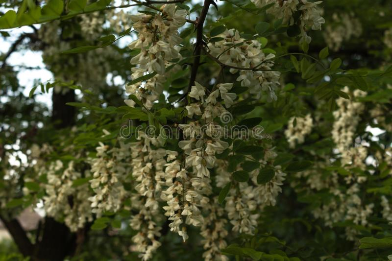 Acacia branches are strewn with a large number of clusters with white flowers among green leaves.  stock photos