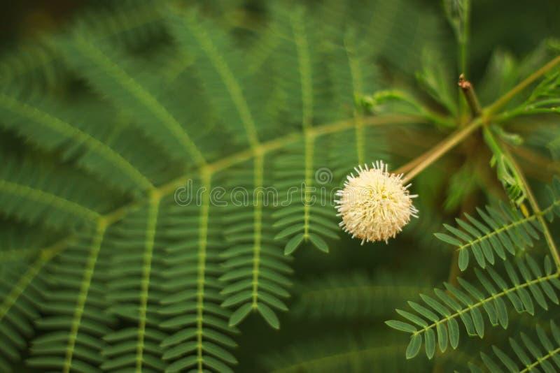 Acacia d'Earleaf photo libre de droits