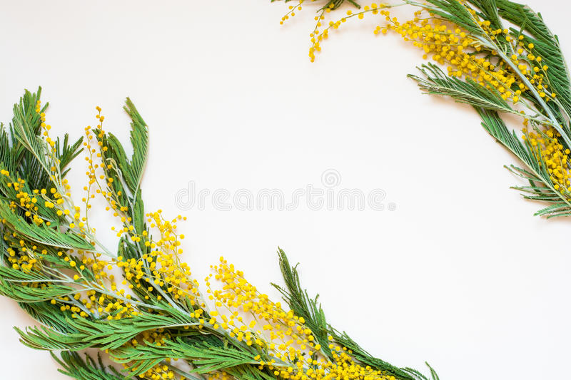 Acacia dealbata known as silver wattle, blue wattle and mimosa on white background. Branches of yellow spring flowers, traditional gift for the March 8 stock photography