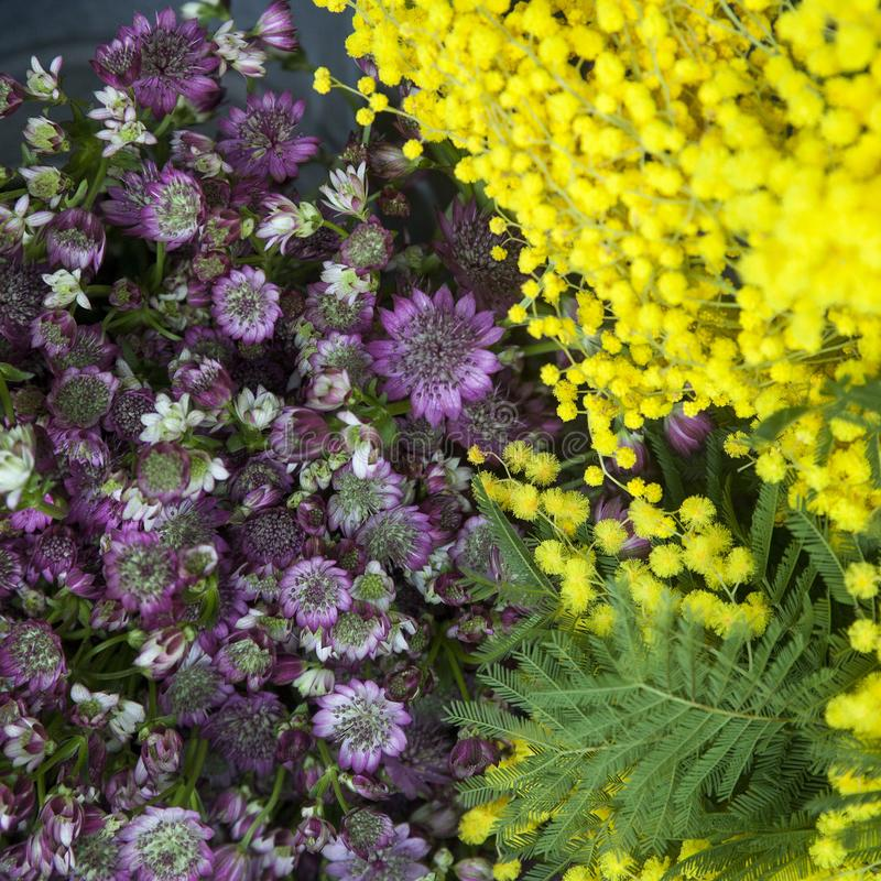 The Acacia dealbata. Mimosa for sale at flower shop in London. Acacia dealbata. Mimosa for sale at flower shop in London stock photos