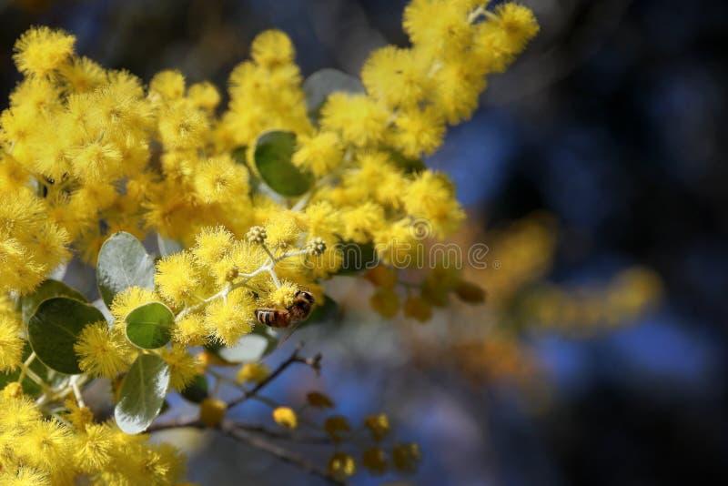 Acacia dorata e ape fotografia stock