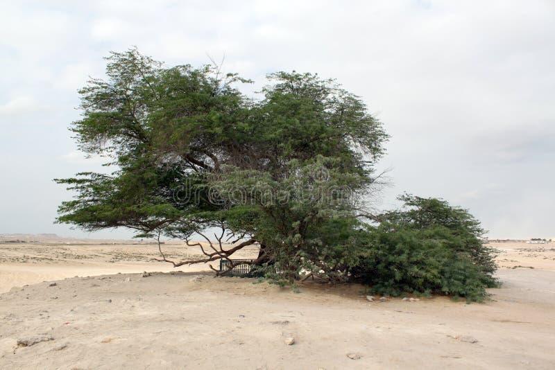 Acacia en woestijn stock afbeelding
