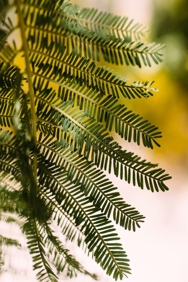 Acacia green leaves as texture and background for design. Acacia Dealbata. Acacia green leaves as texture and background for design. Acacia Dealbata Acacia tree royalty free stock image