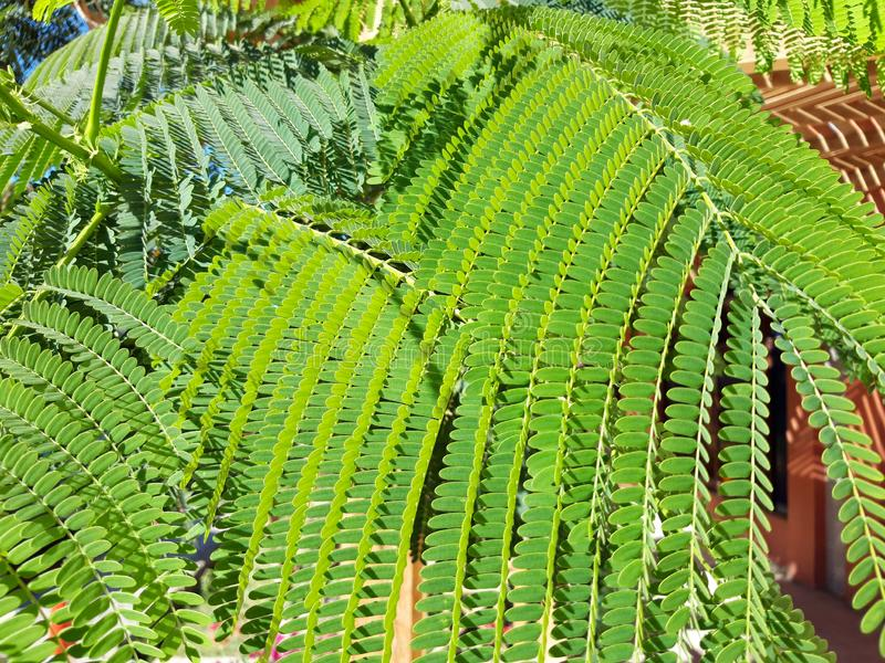 Acacia leaves stock image
