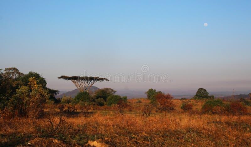 Acacia moon rise in Malawi stock photos