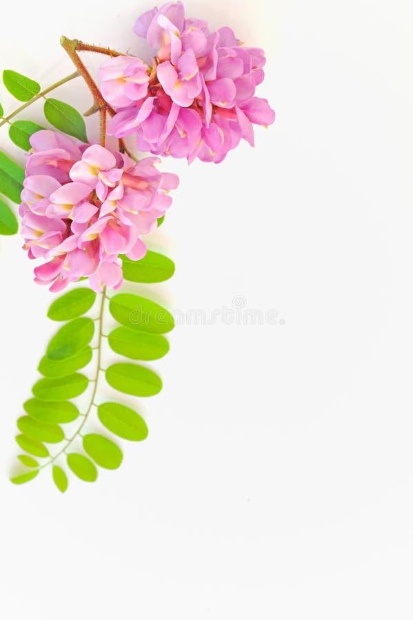 Download Acacia Pink Flowers- Robinia Hispida Stock Photo - Image: 24660222