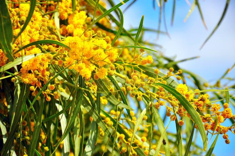 Acacia pycnantha, Golden Wattle, Australian floral emblem flowers closeup. Acacia pycnantha, Golden Wattle, Australian floral emblem that flowers in late winter royalty free stock photos