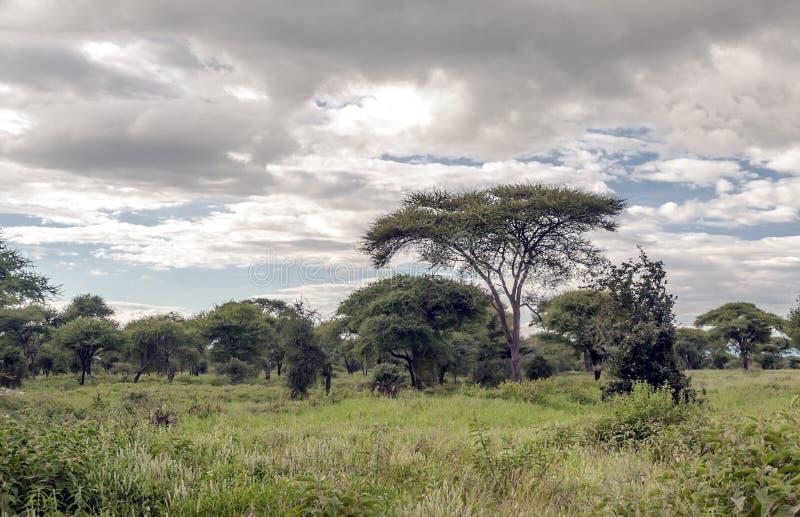 Acacia's van Tanzania stock foto's