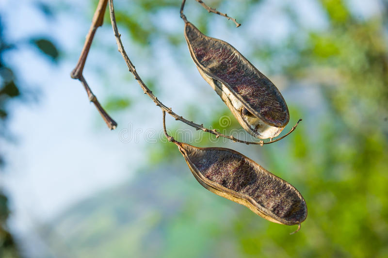 Acacia Seed Pods. Two dry acacia pods with seeds inside royalty free stock image