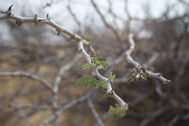 Acacia Shoots royalty free stock photos