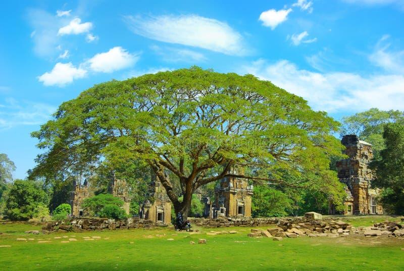 Acacia sur le fond des ruines. images libres de droits