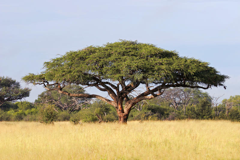 African Acacia tree stock photography