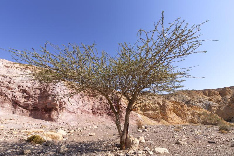 Acacia tree in the Erosive colored hills of the Red Canyon in the Eilat Mountains royalty free stock photos