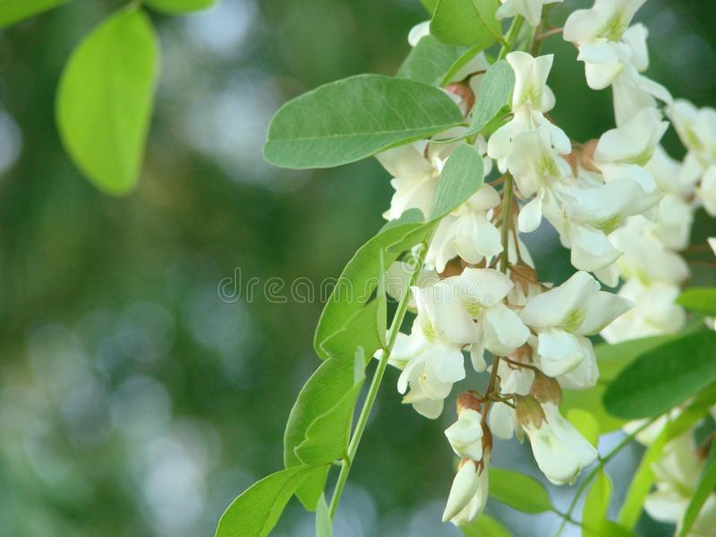 Acacia tree flowers blooming in spring. Acacia flowers branch with a green background stock images