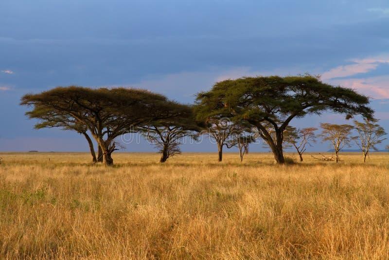 Acacia tree group at Sunset stock image