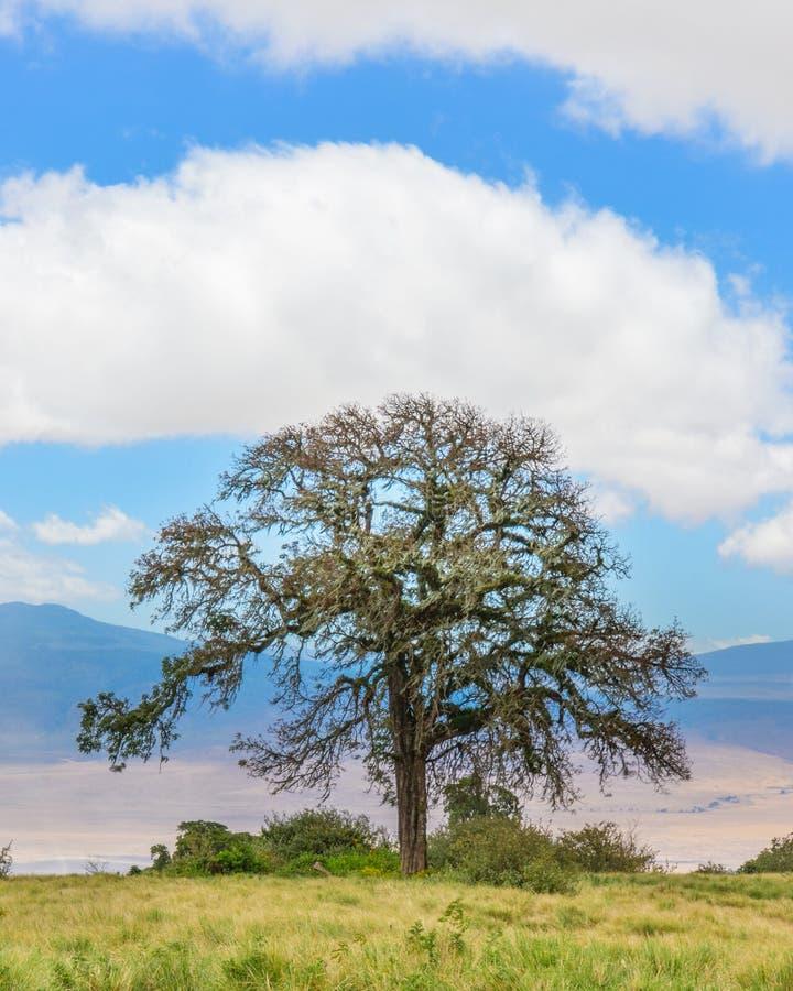 Acacia Tree, Ngorongoro Conservation Area, Arusha, Tanzania, Afr. Acacia tree perched on the rim of the Ngorongoro Conservation Area crater, Arusha, Tanzania royalty free stock photography