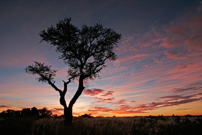 Acacia Tree Silhouette, Namibia Stock Photo