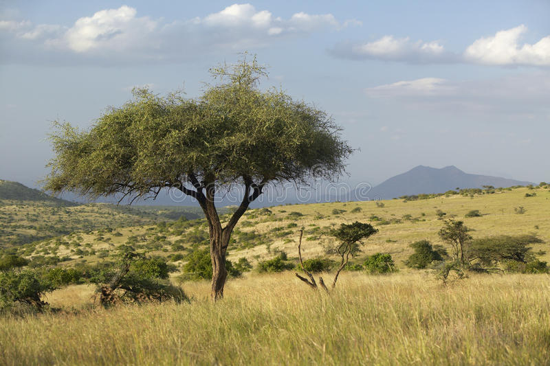 Download Acacia Tree At Sunset At Lewa Conservancy, Kenya, Africa Stock Image - Image of lewa, bush: 52320883