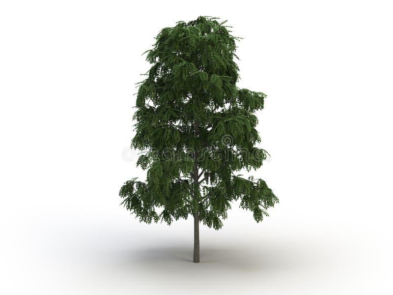 Acacia tree stock photo