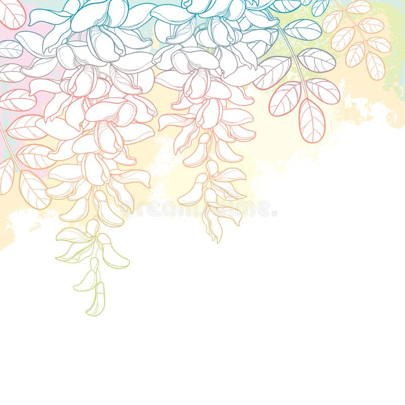 Vector bunch of outline white false Acacia or black Locust or Robinia flower, bud and leaves on the pastel pink and white. Vector bunch of outline white false vector illustration