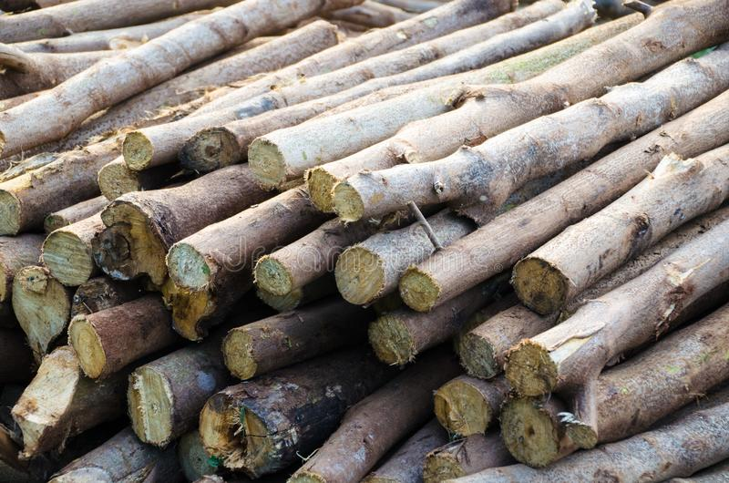 The appropriate environmental factors.Environmental factors, reasonable. Acacia wood is a sustainable environment Giants were well even in areas that are drought royalty free stock image